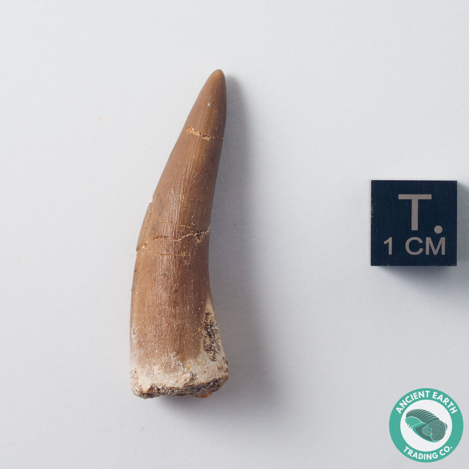 1.57 in. Plesiosaur Zarafasaura Fossil Tooth - Morocco