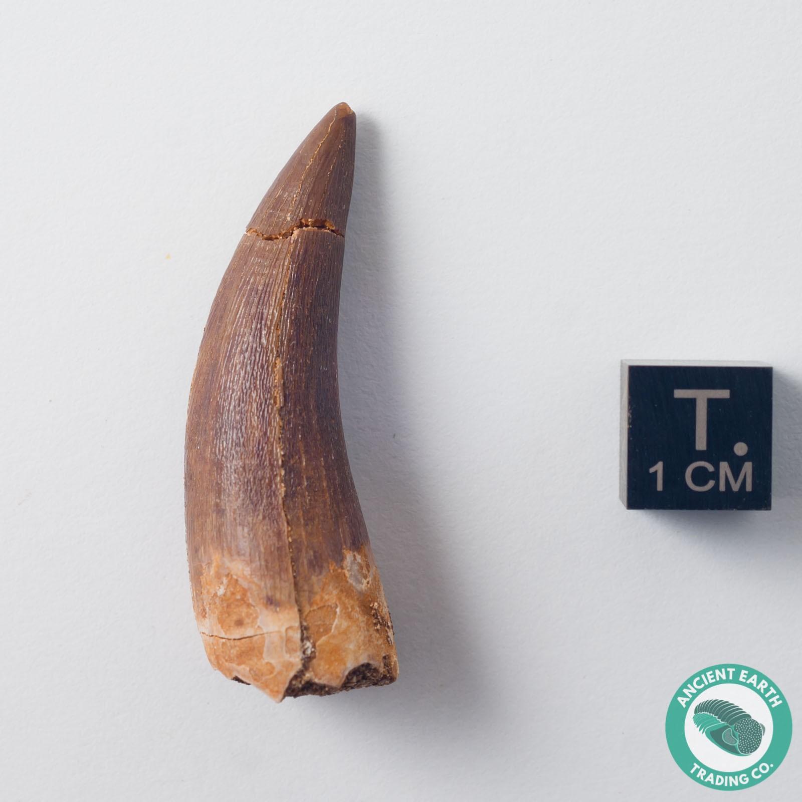 1.65 in. Plesiosaur Zarafasaura Fossil Tooth - Morocco
