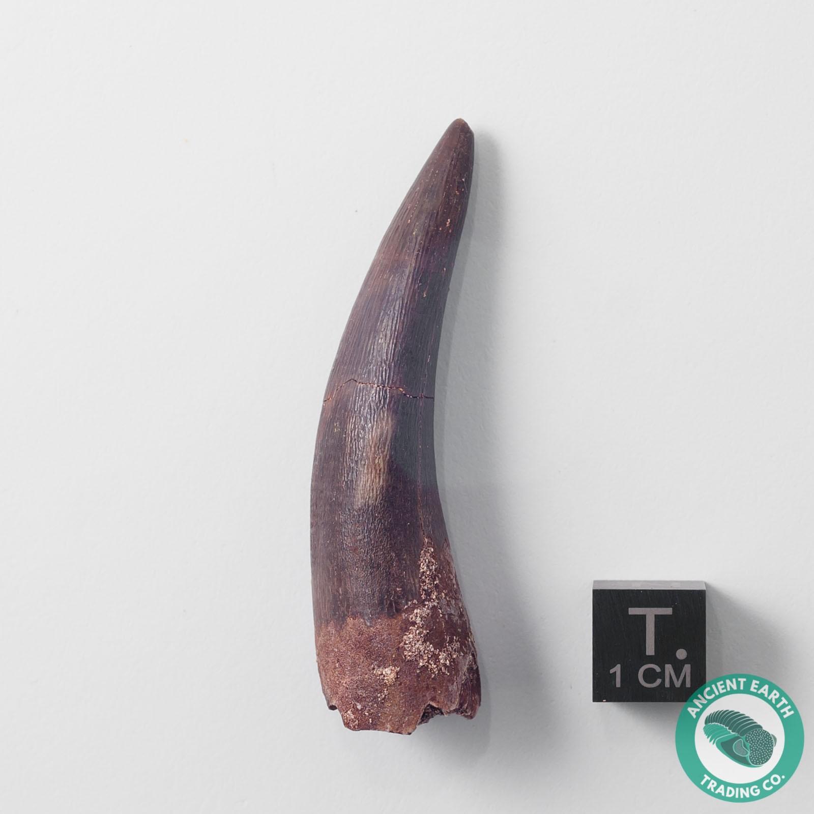 2.20 in. Plesiosaur Zarafasaura Fossil Tooth - Morocco