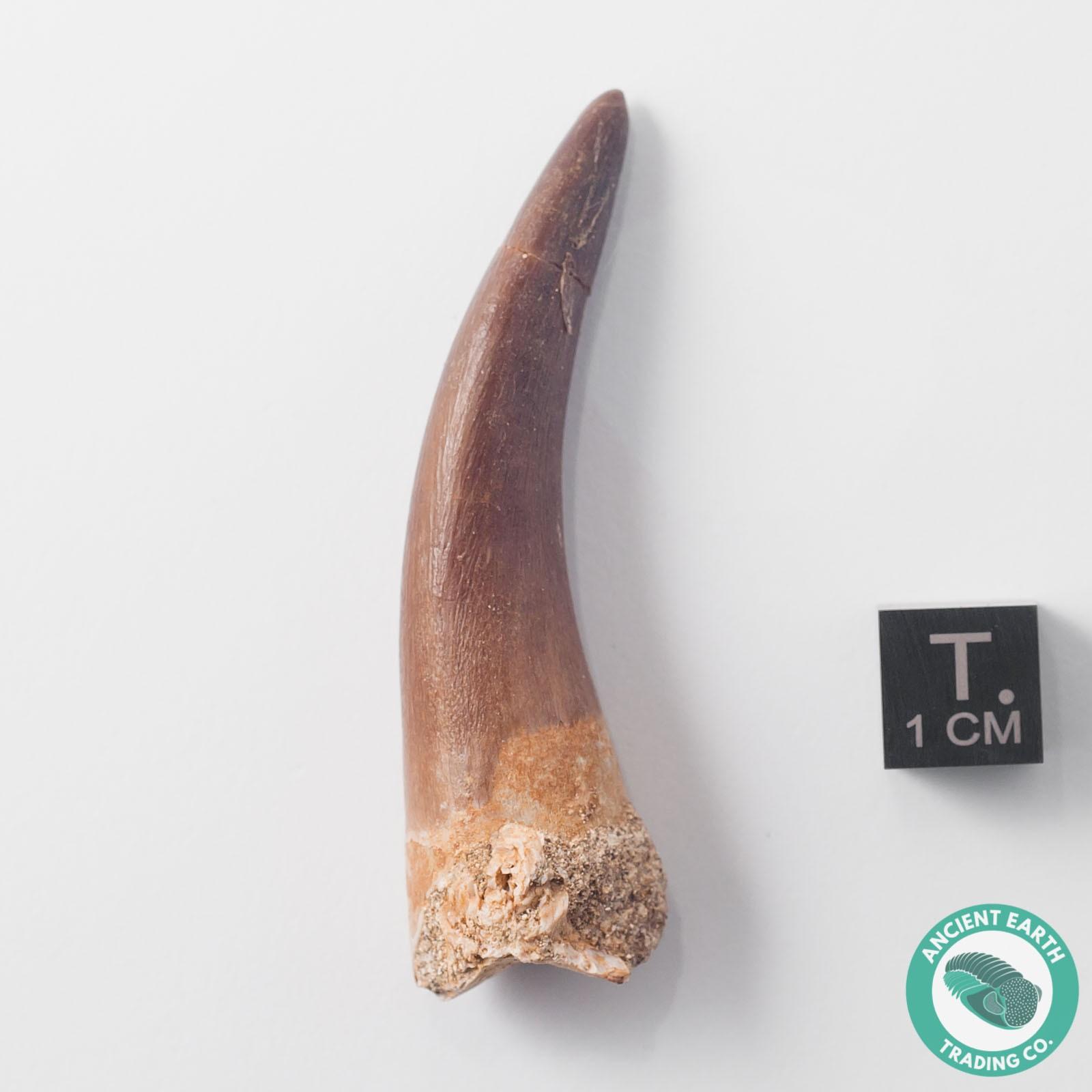 2.34 in. Unerupted Plesiosaur Zarafasaura Fossil Tooth - Morocco