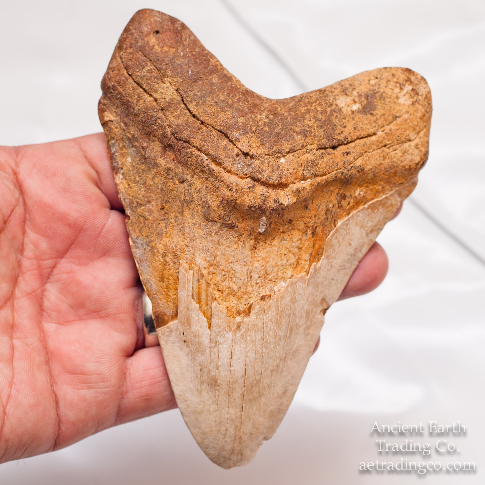 Giant 5.25 inch White C. Megalodon Fossil Shark Tooth from Western Sahara (Morocco), Africa
