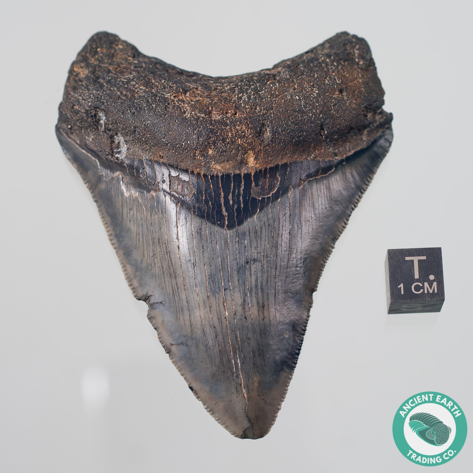 3.4 inch Megalodon Fossil Shark Tooth from South Carolina