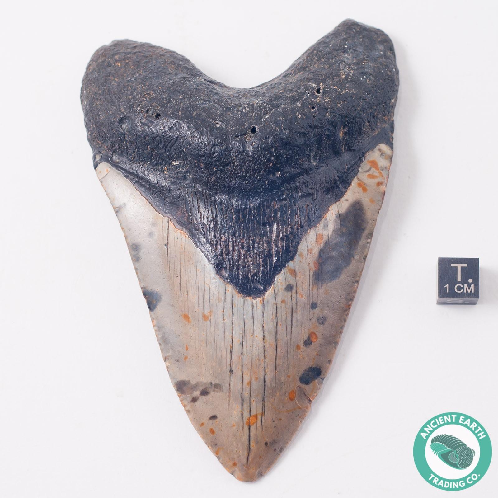 Monster 4.75 inch Megalodon Razor Sharp Shark Tooth from South Carolina