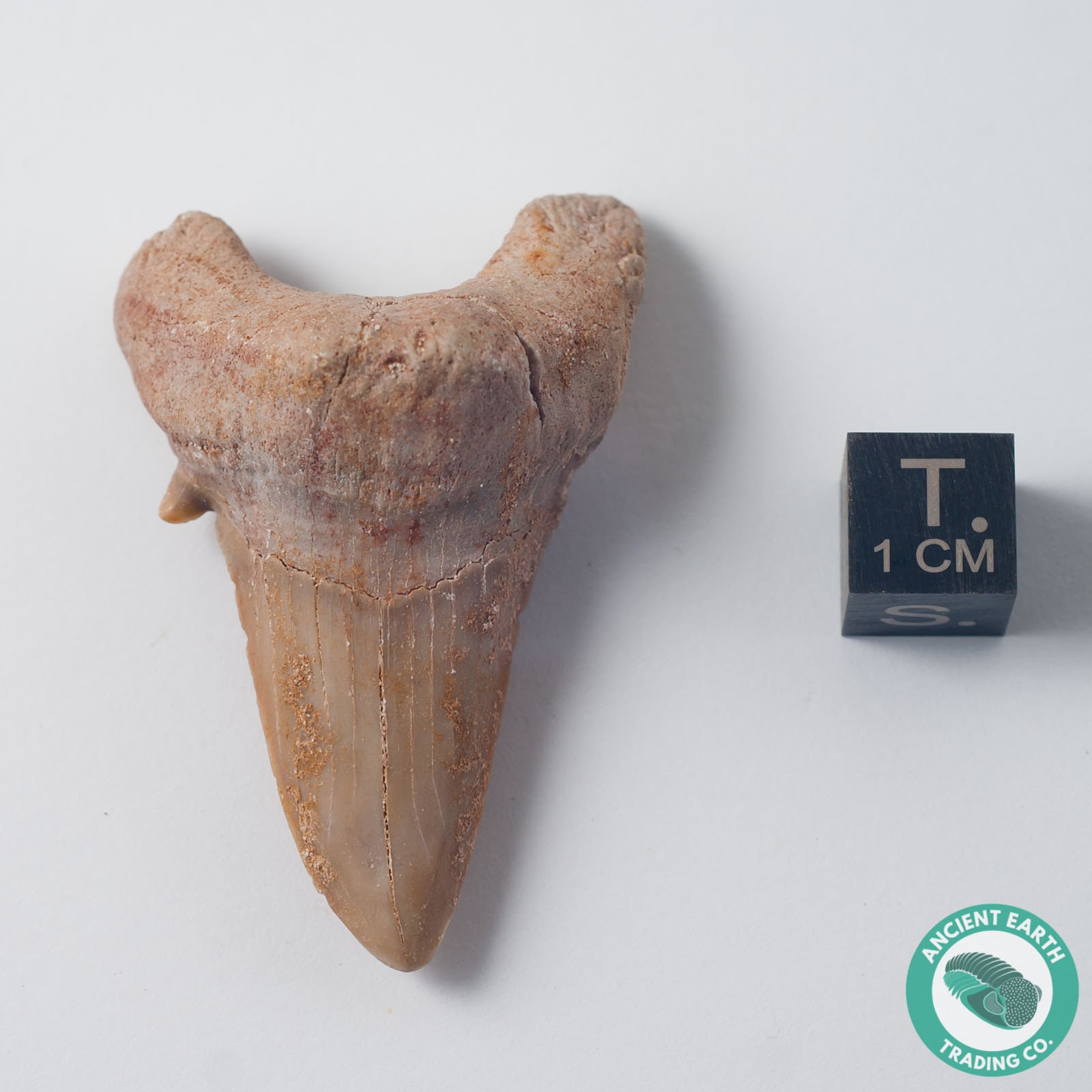 "2.01"" Otodus Shark Tooth Fossil - Morocco"