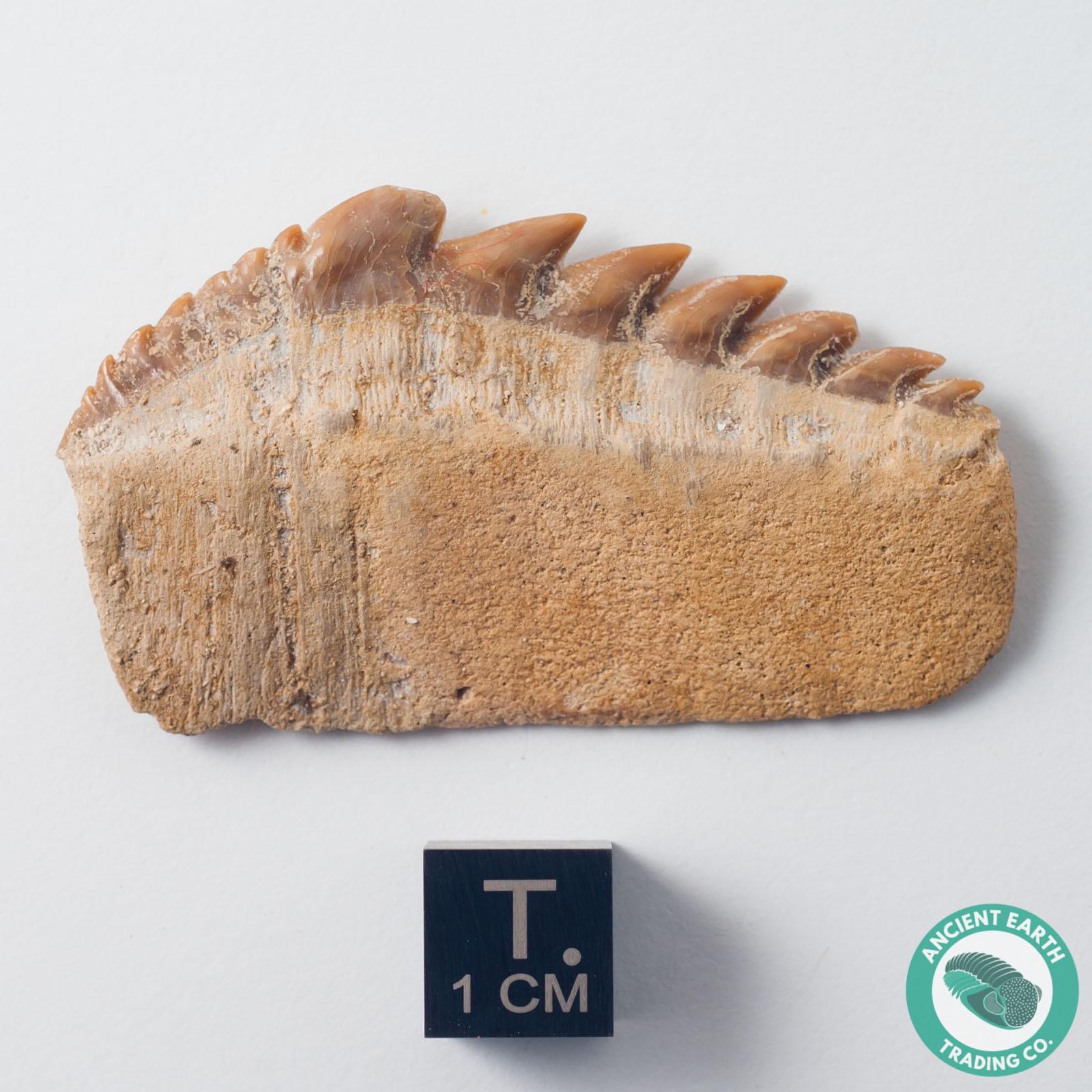 "2.07"" Notidanidon Cow Shark Tooth Fossil - Morocco"