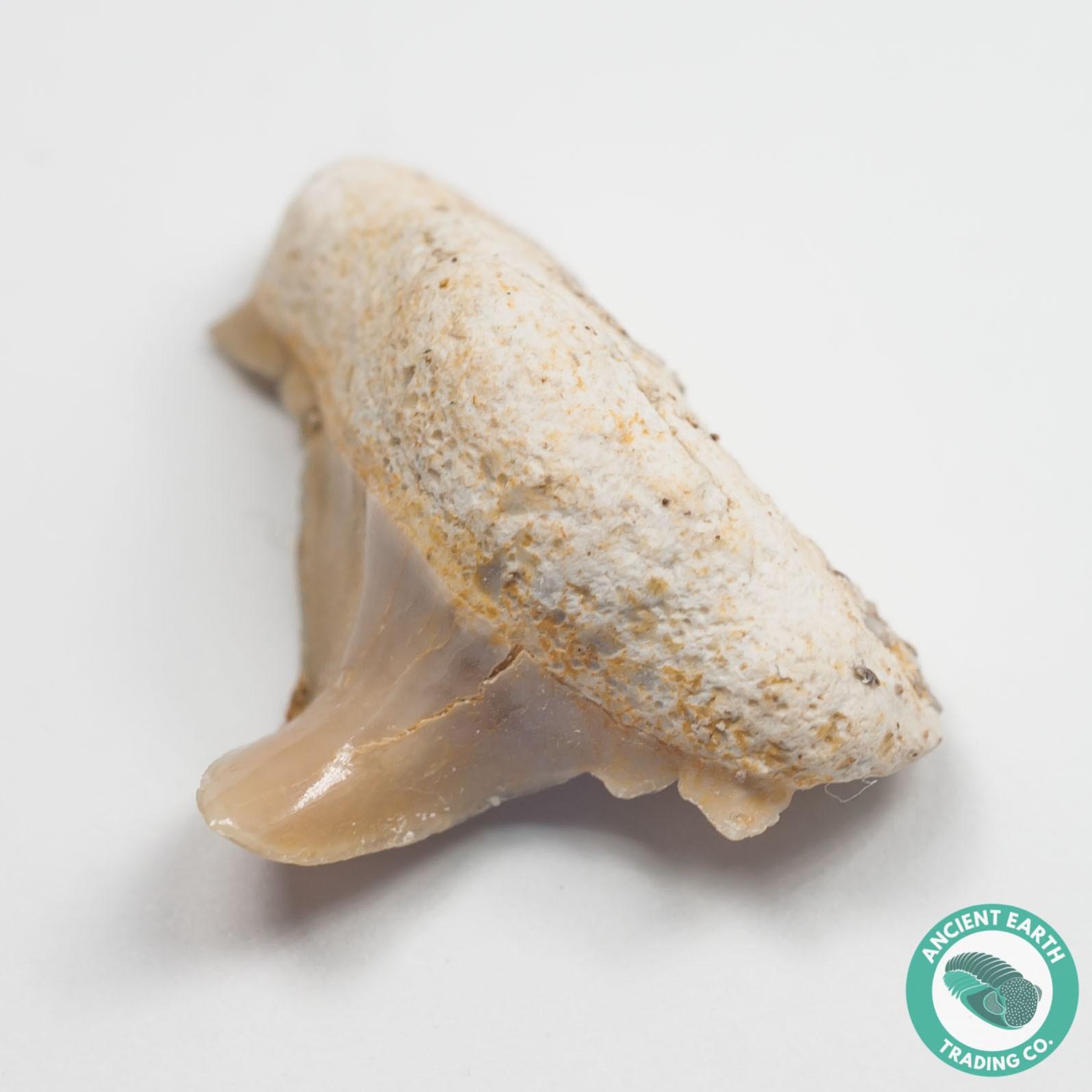 ".83"" Pathologic Cretolamna Mackerel Shark Tooth Fossil - Morocco"