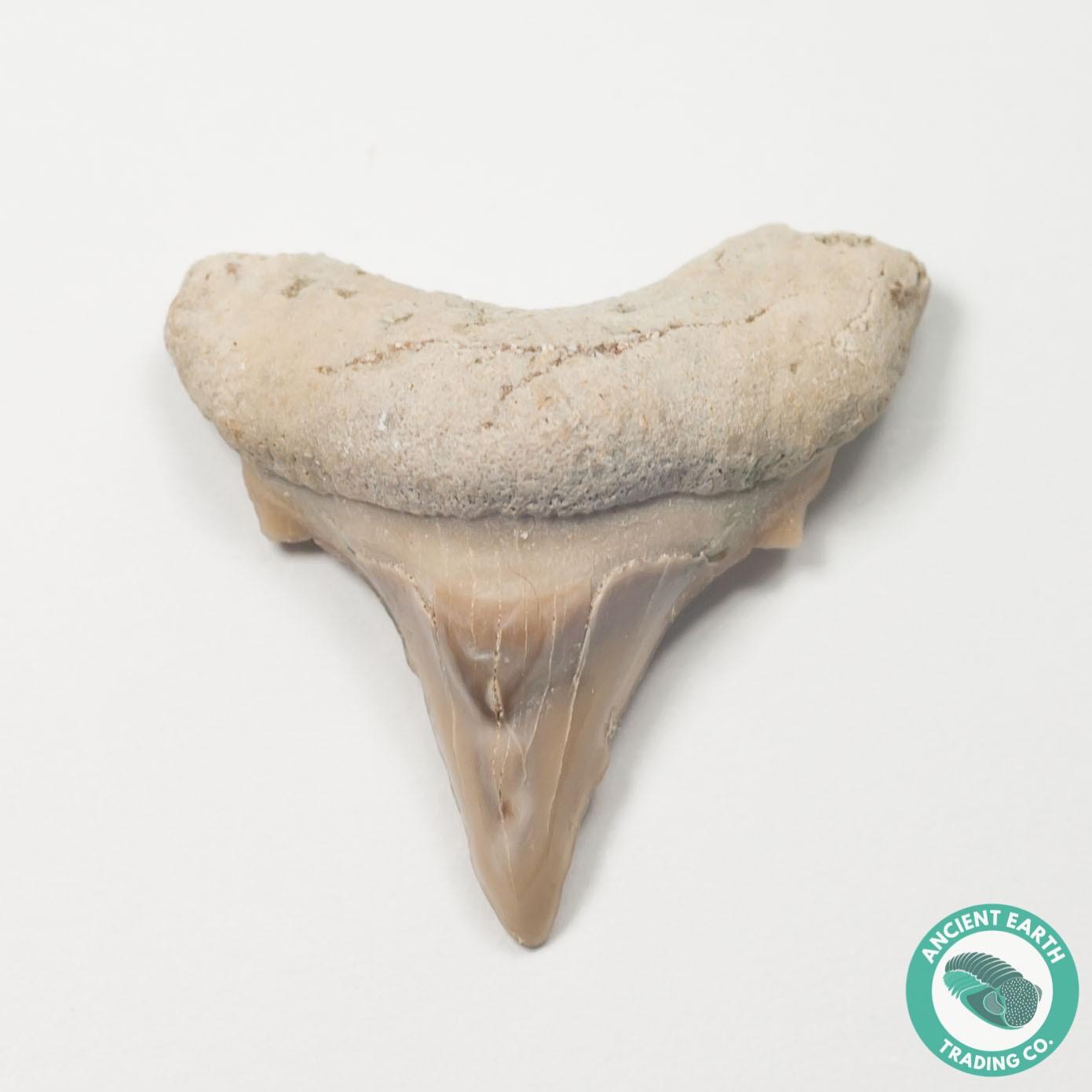 "1.01"" Pathologic Cretolamna Mackerel Shark Tooth Fossil - Morocco"