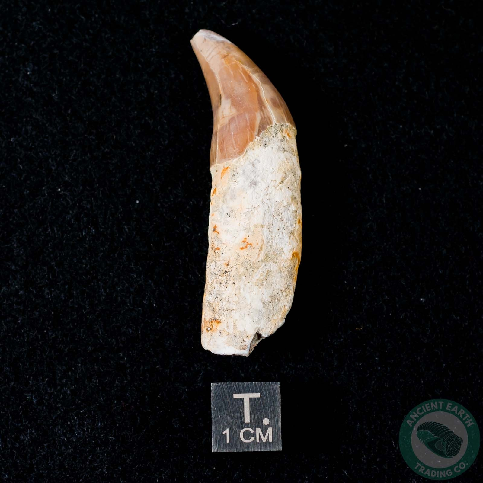 1.98 inch Fossil Pinniped Sea Lion Seal Tooth (Allodesmus kernensis) from Sharktooth Hill, California