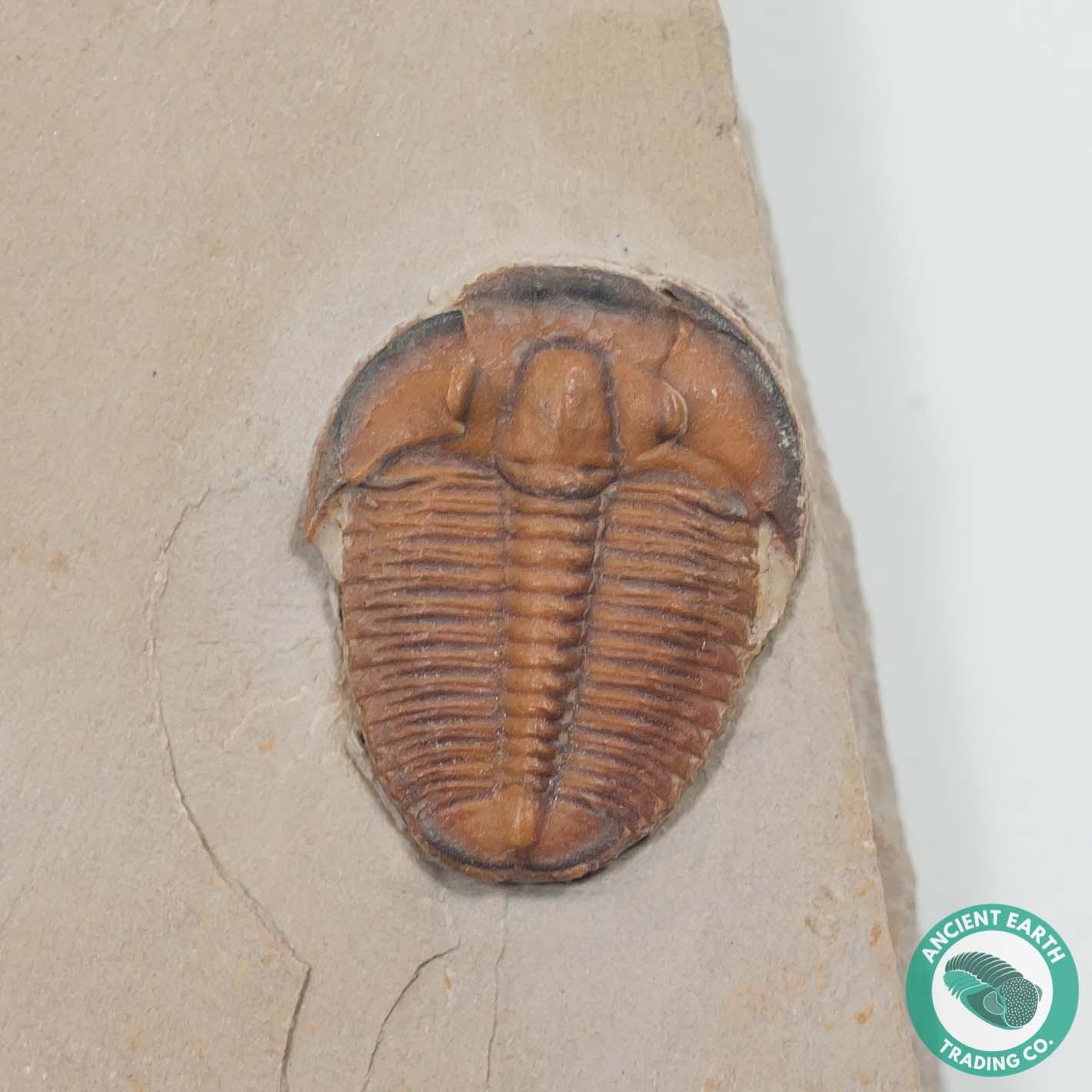 Red Elrathia Trilobite Fossil - Utah