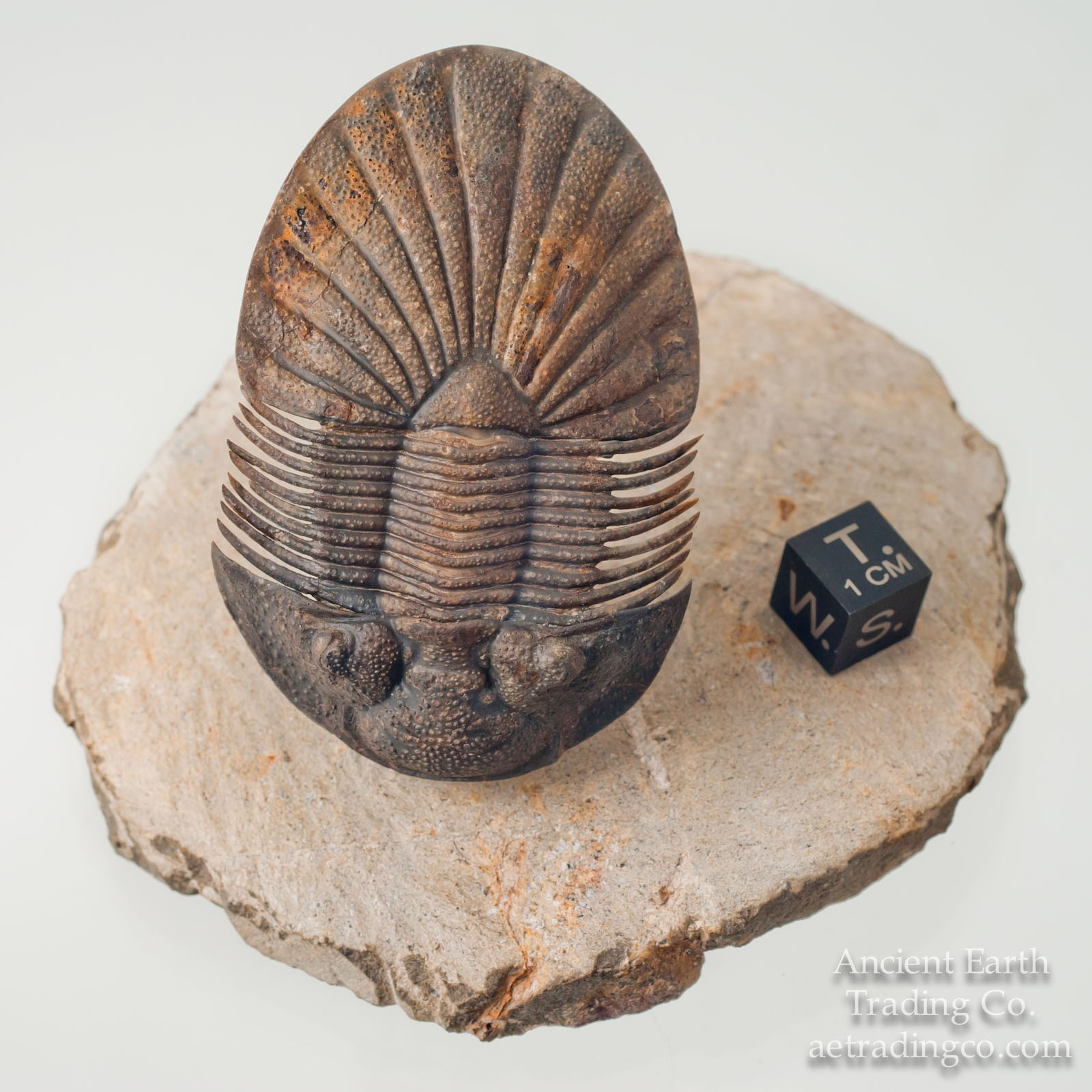 Museum Grade Scutellum pustulatum 2.75 in. Flying Trilobite