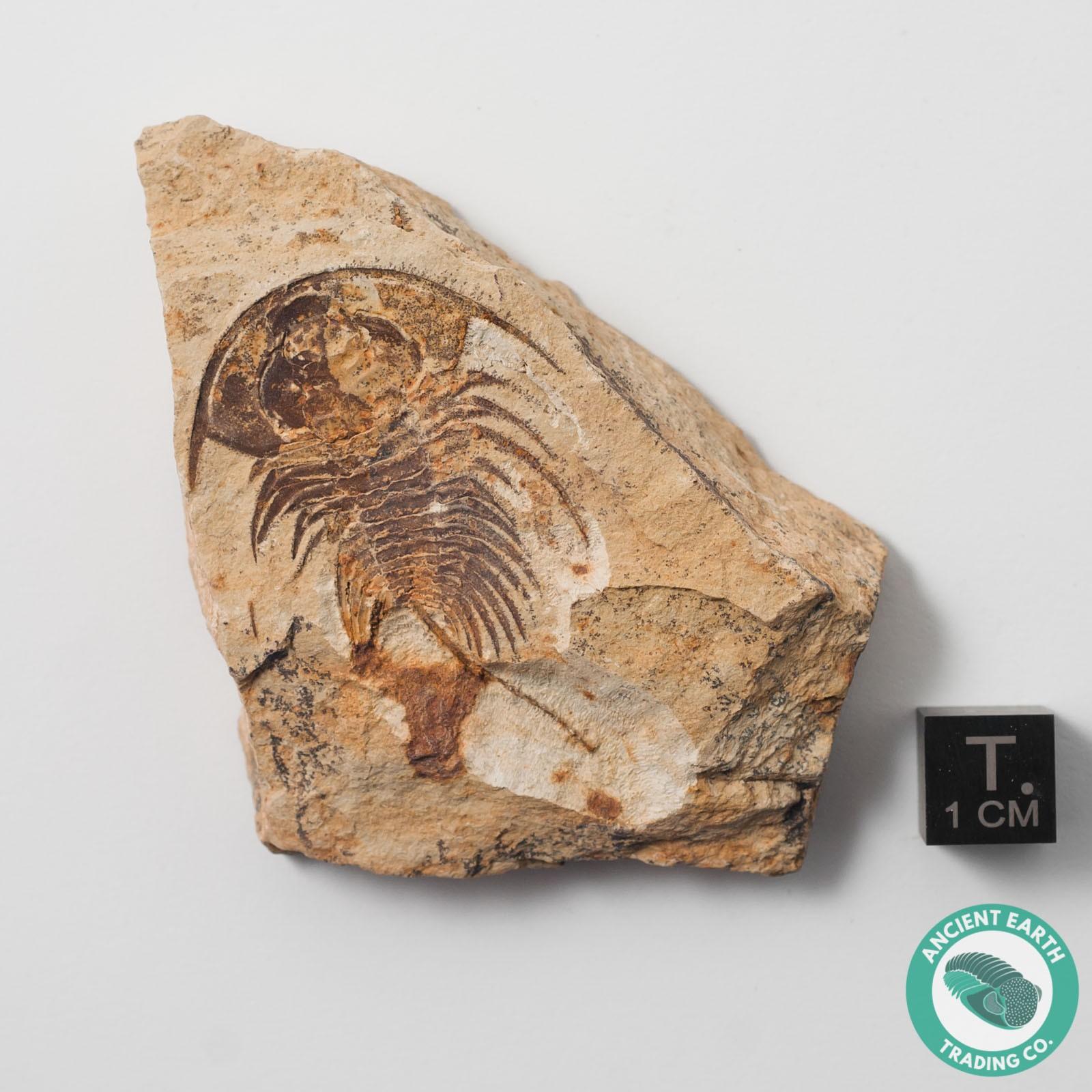 1.74 in. Rare Teresellus goldfieldensis Cambrian Trilobite Fossil - Nevada