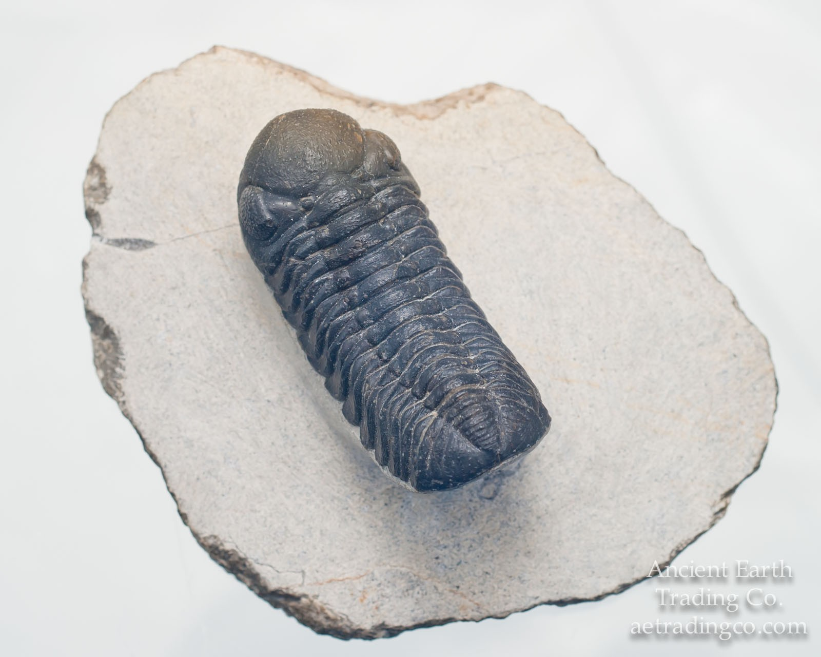 Austerops (Phacops) smoothops Trilobite Fossil