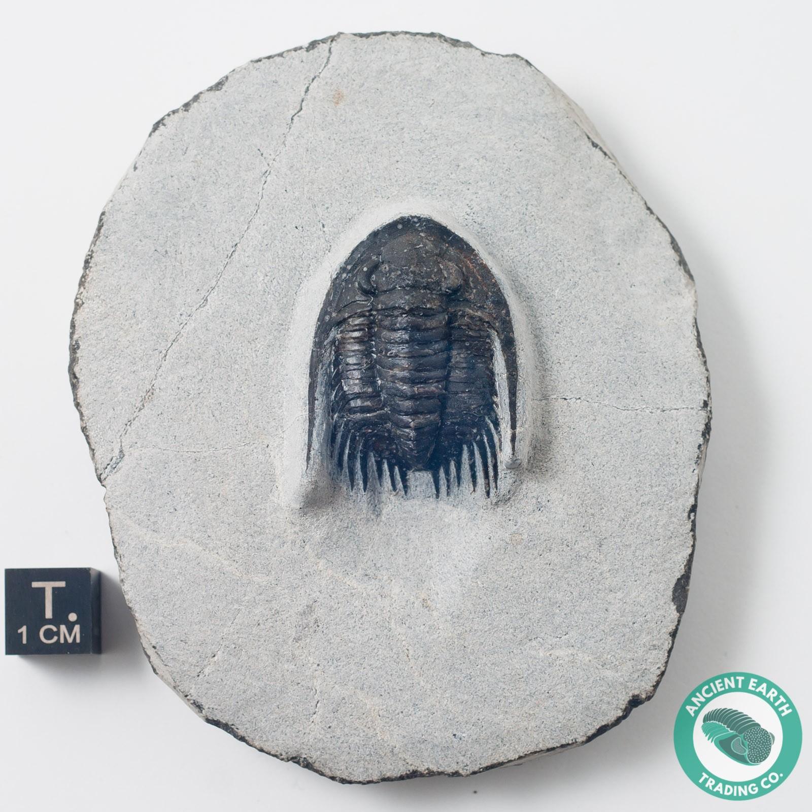 Phaetonellus 1.26 in. Spiny Trilobite Fossil - Morocco