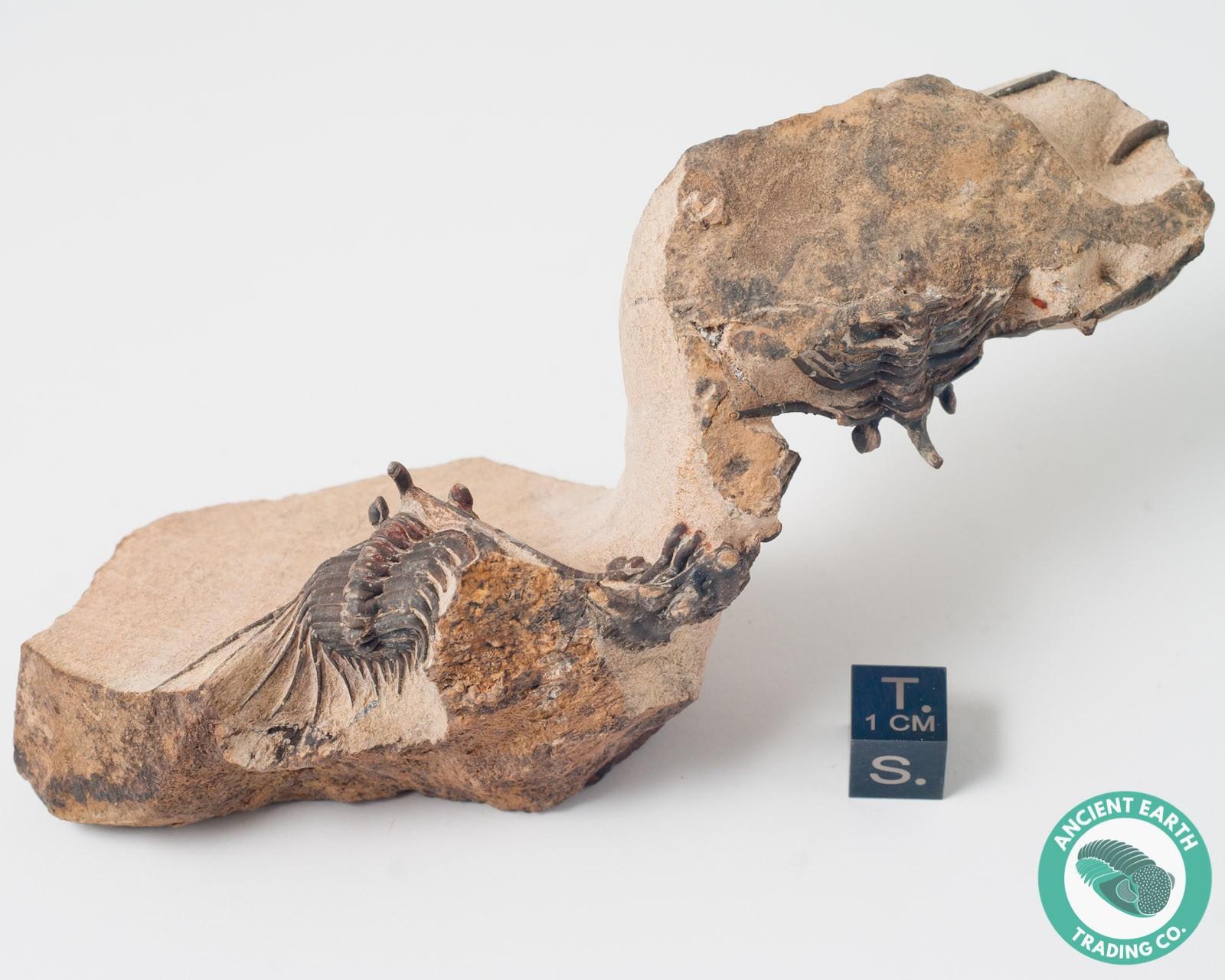 Kettneraspis Stovepipe Mass Mortality Trilobite Fossil - Morocco