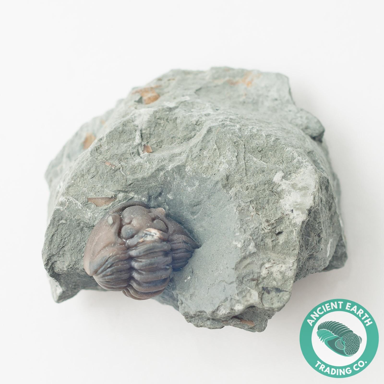 Enrolled Flexicalymene retrorsa on Matrix Mt Orab Ohio Trilobite Fossil