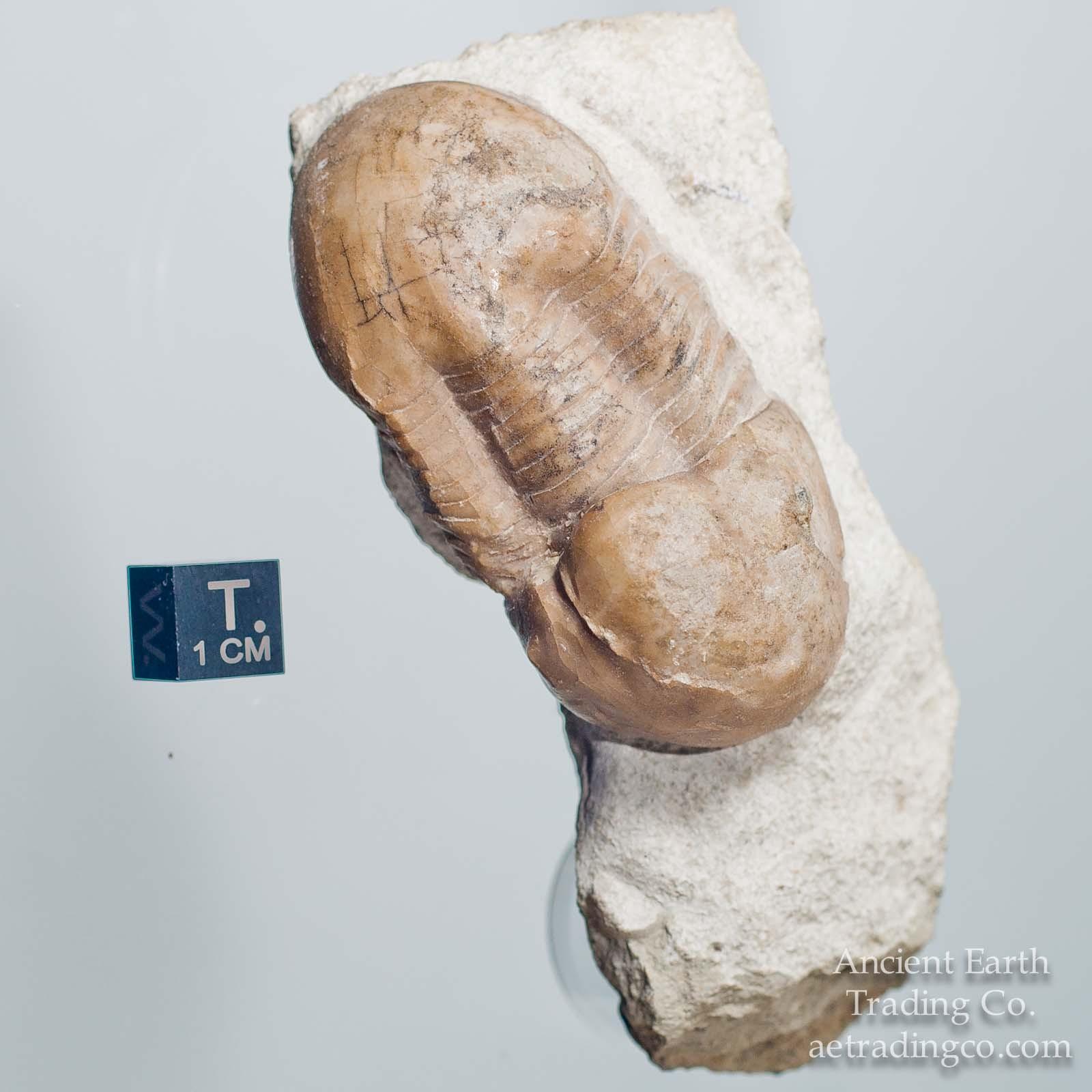 Illaenus dalmani (Volborth, 1863) Trilobite Fossil