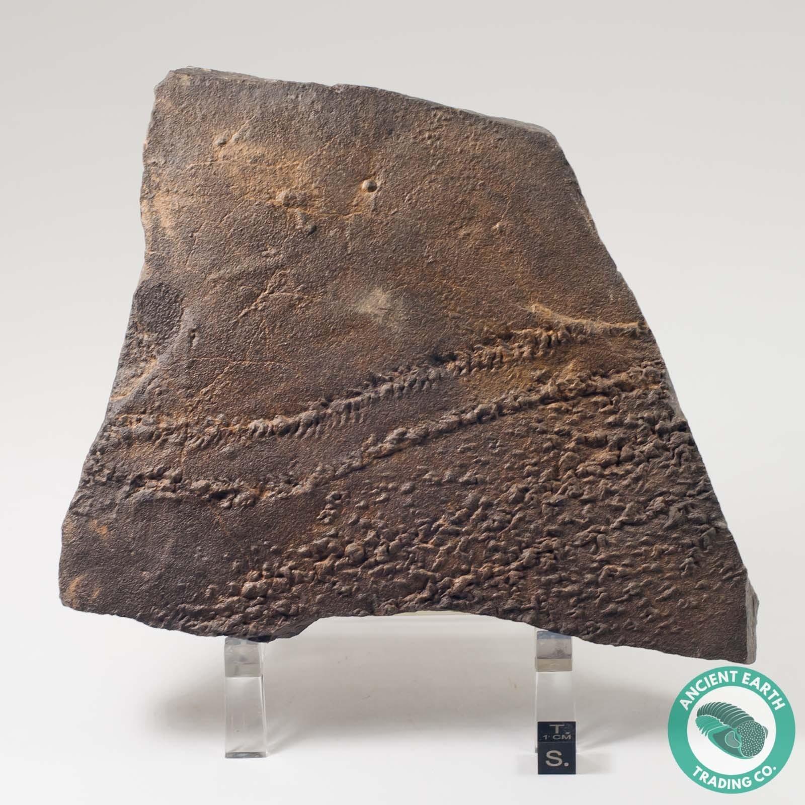 Huge Cruziana Fossil Trilobite Tracks & Starfish Tracks - Morocco