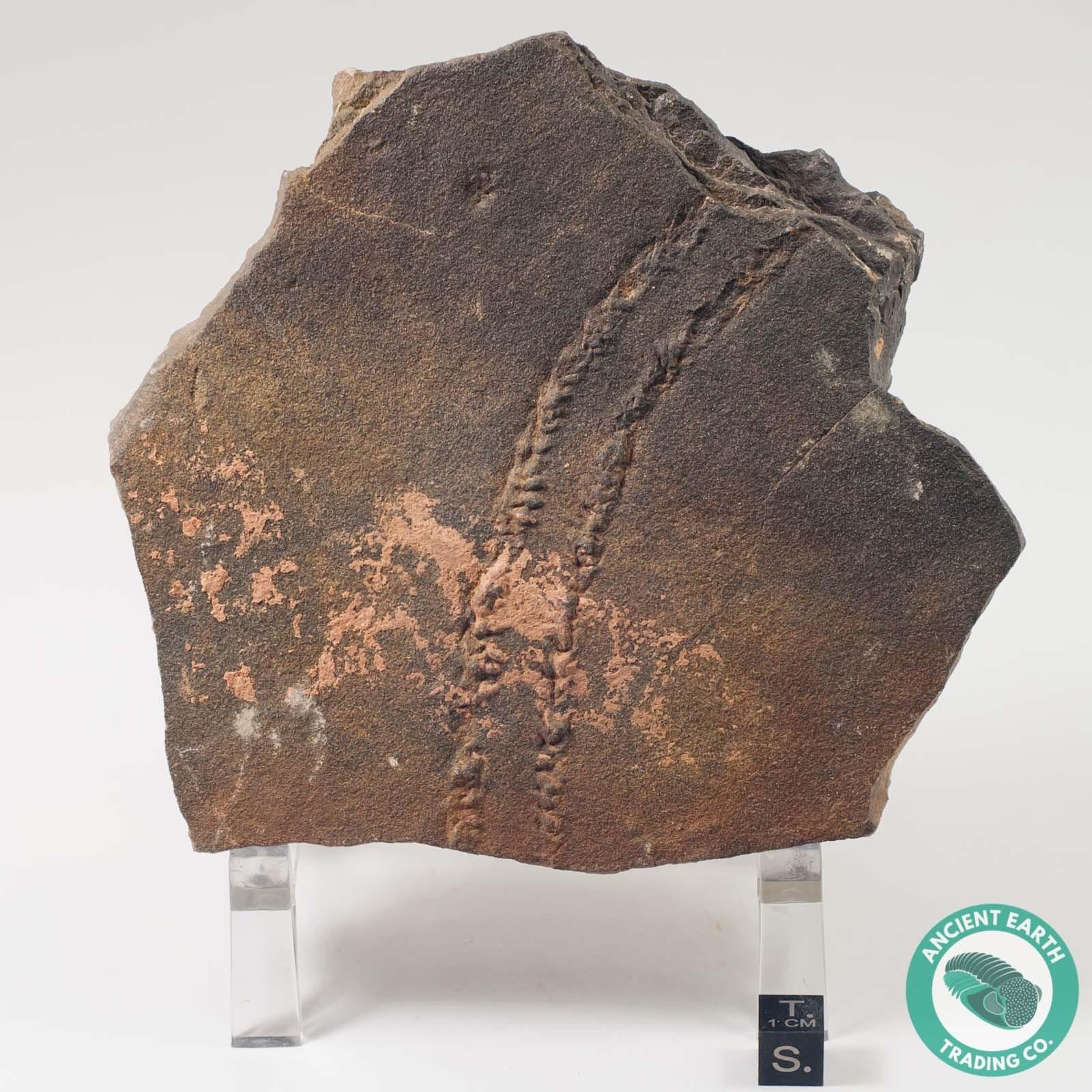 4.3 in. Cruziana Fossil Trilobite Tracks - Morocco