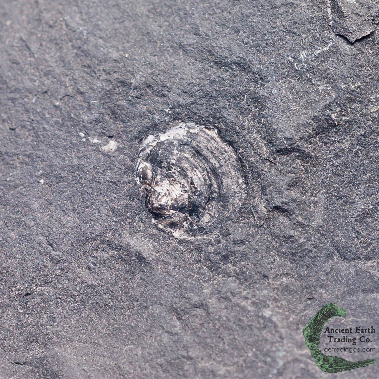 Acrothele subsidua Brachiopod Fossil