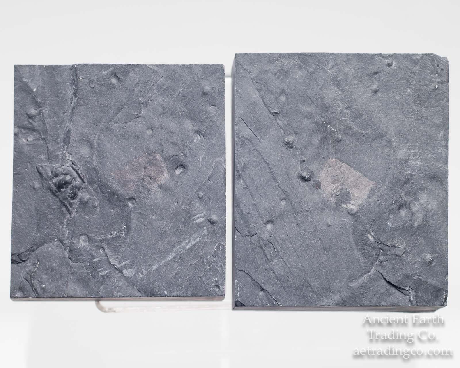 Phyllocarid (Dicerocaris) with Pos/Neg Halves from Utah