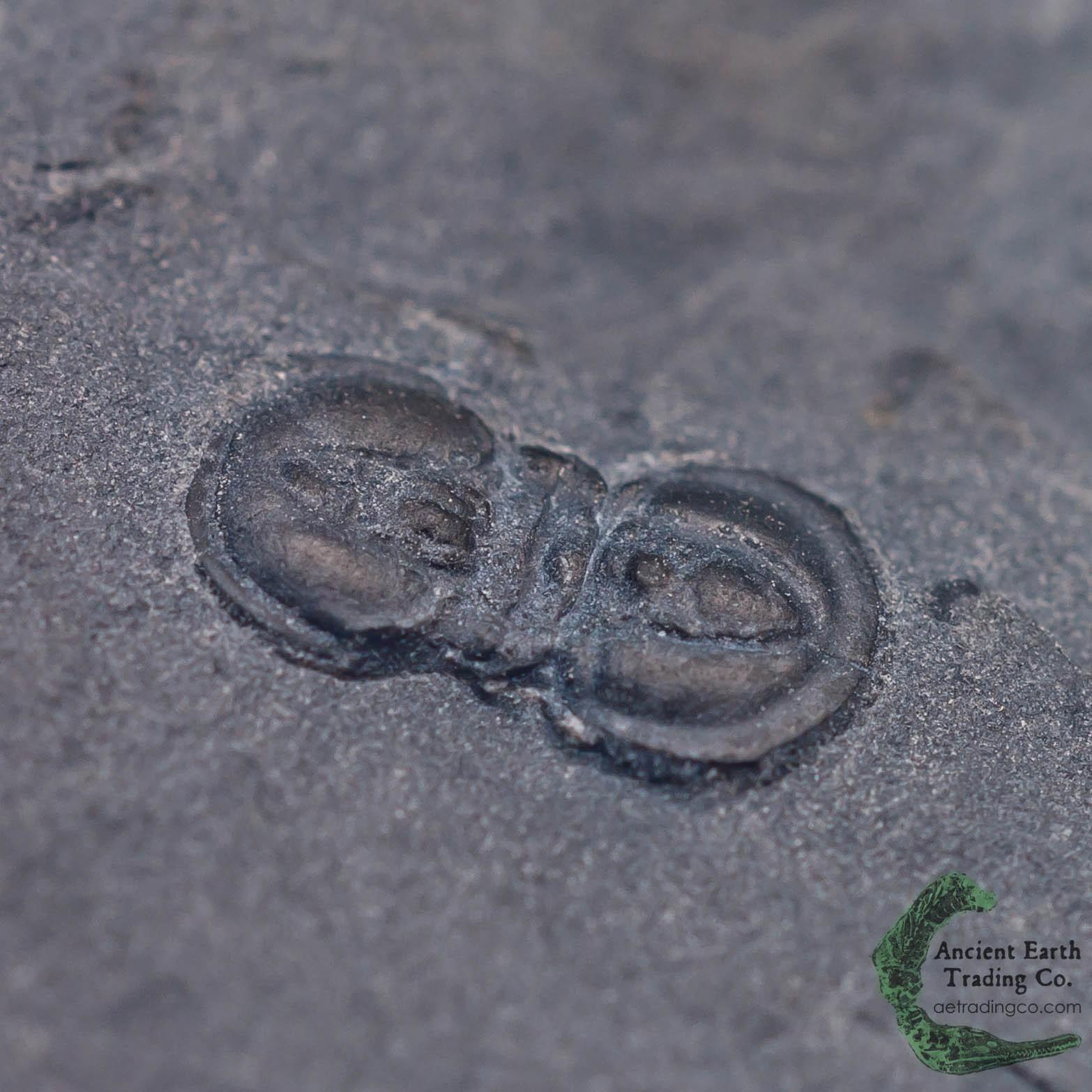 Peronopsis interstrictus Trilobite Fossil from Utah