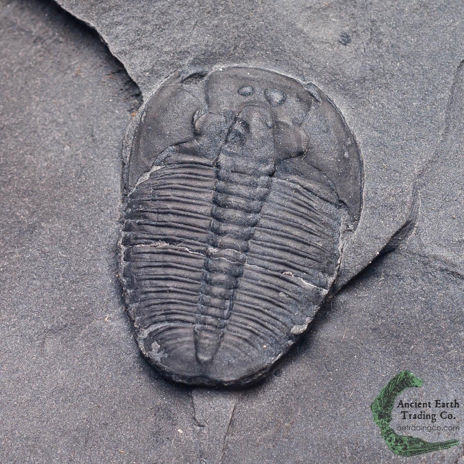 Elrathia kingii Trilobite Fossil