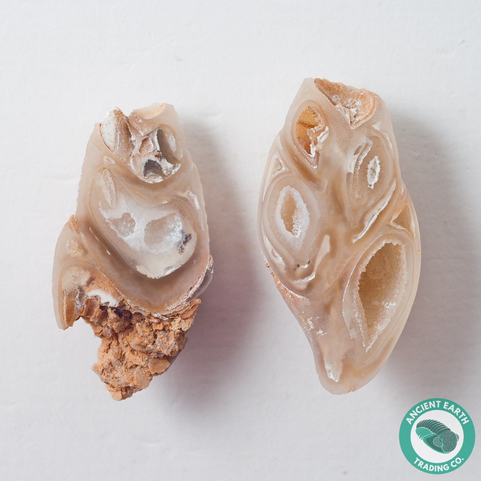 1.81 in Polished Agate Split Pair Gastropod from Western Sahara
