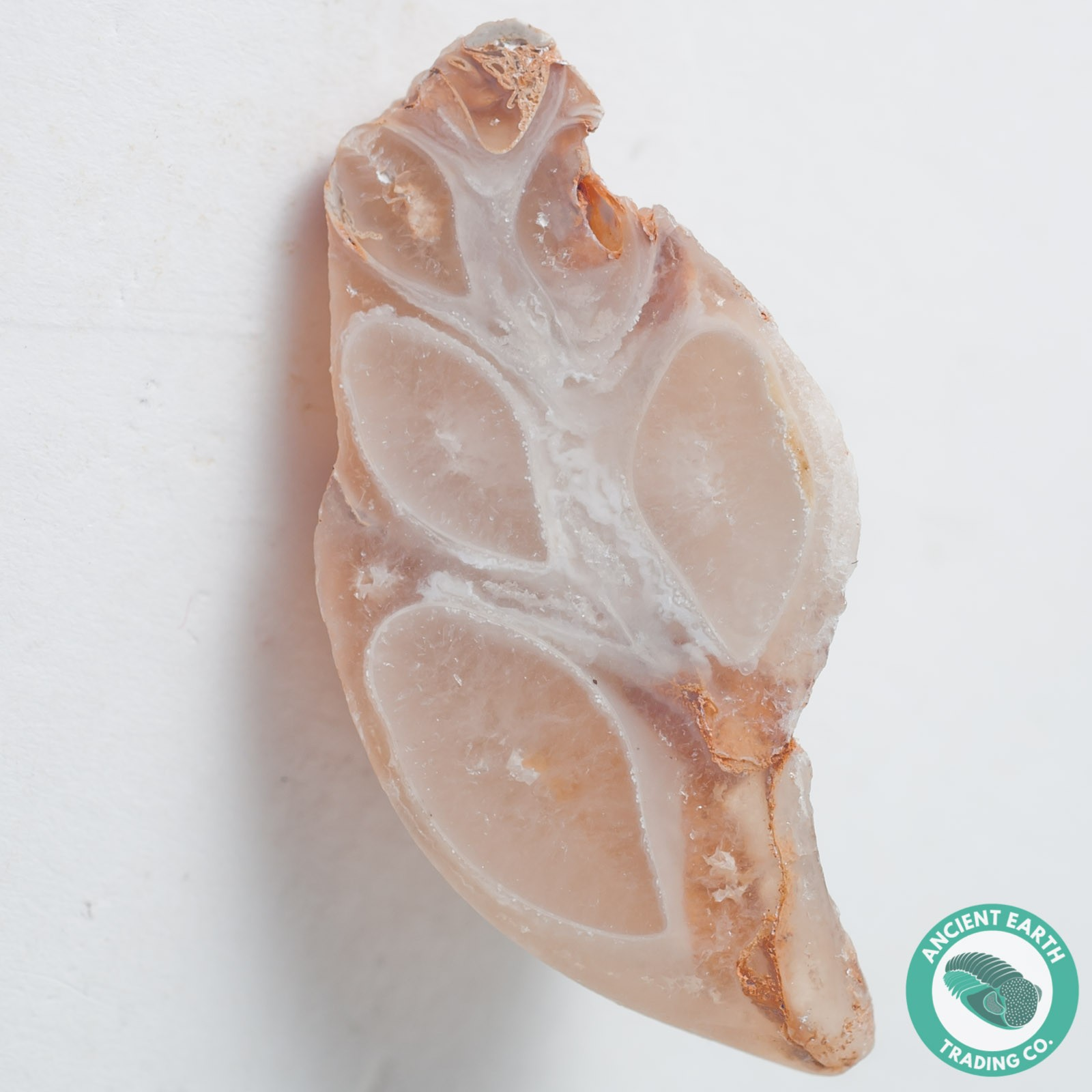 1.73 in Polished Agate Split Pair Sea Snail from Western Sahara