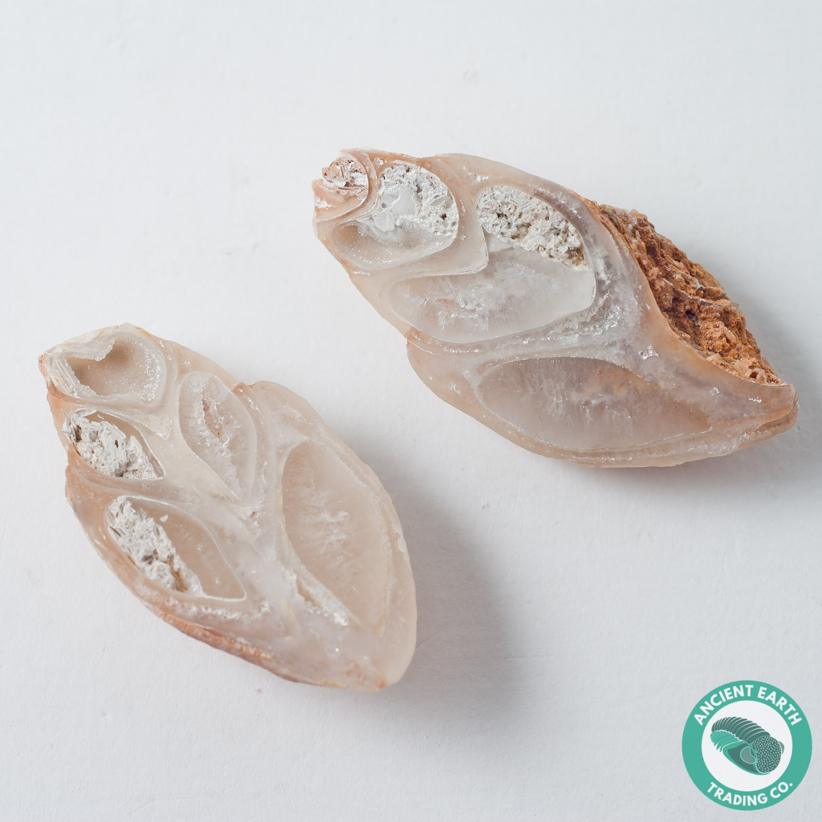 1.87 in Polished Agate Split Pair Gastropod from Western Sahara