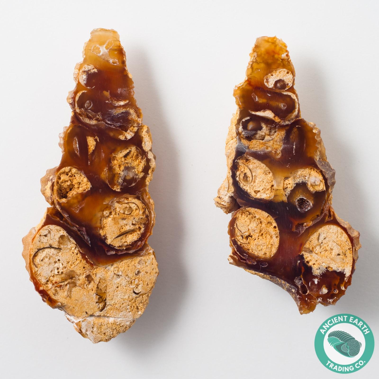Large 3.26 in Carnelian Agate Split Pair Gastropod from Western Sahara