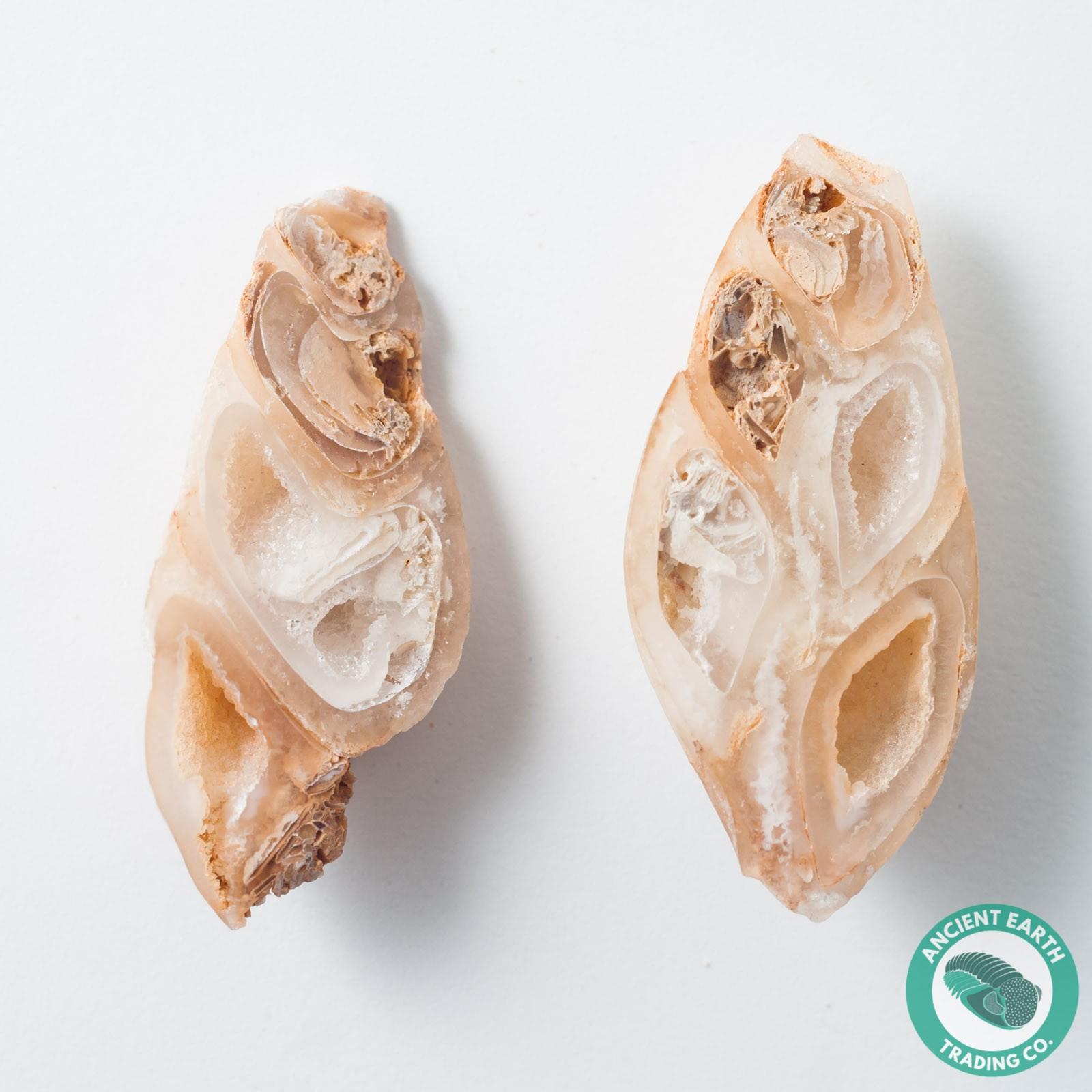 1.81 in Polished Agate Split Pair Sea Snail Gastropod from Western Sahara