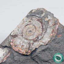 1.58 in Bright Psiloceras Ammonite - England