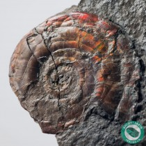 2.13 in Huge Brilliant Red Psiloceras Ammonite - England