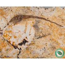 5.77 in Pipefish Seahorse Fossil - New Locality - California