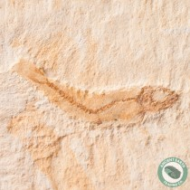 1.1 in. Herring Fossil Fish Lusitanichthys - Morocco