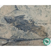 3.93 in Coelacanth Triassic Fish Fossil - New Jersey