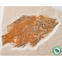 3.71 in. Priscacara Fossil Fish Green River - Wyoming