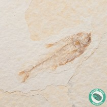 2.14 in Diplomystus Green River Fossil Fish - Wyoming