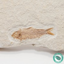 2.34 in Knightia eocaena Fossil Fish Green River - Wyoming