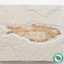 3.98 in Knightia alta Fossil Fish Green River - Wyoming