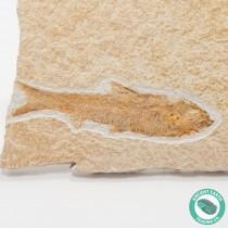 4.09 in Knightia eocaena Fossil Fish Green River - Wyoming