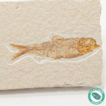 3.2 in Knightia alta Fossil Fish Green River - Wyoming