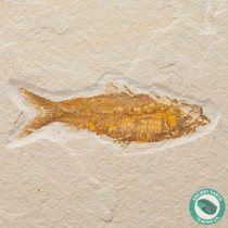 3.4 in Knightia alta Fossil Fish Green River - Wyoming