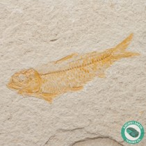 3.76 in Knightia alta Fossil Fish Green River - Wyoming