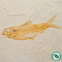 4.36 in Knightia alta Fossil Fish Green River - Wyoming