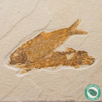 Double Knightia alta Fossil Fish Green River - Wyoming