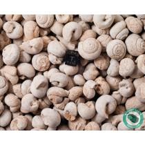 Gastropod Fossil Sea Snail - 1 Pound - Morocco