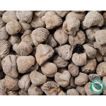 Brachiopod Fossil Rhynchoellida - 1 Pound - Morocco