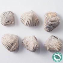 Single Brachiopod Fossil Rhynchoellida - Morocco