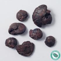 Hematite Ammonite Fossil - 10 Pack - Morocco